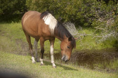 Wild horses of Assateague Island Royalty Free Stock Photos