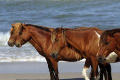 WILD HORSES OF ASSATEAGUE ISLAND Stock Image