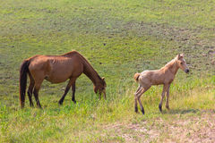 Wild horses of Assateague Island. A mare and a newborn foal in the wild on Assateague Island Stock Images