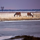 Wild Horses at Assateague Island, MD in Winter Royalty Free Stock Images