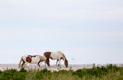 Wild Horses of Assateague Island. Wild Ponies, horses, of Assateague Island, Maryland, USA. These animals are also known as Assateague Horse or Chincoteague Stock Photo