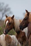 Wild Horses of Assateague Island. Wild horses roam freely on Assateague Island off the coast of Virginia Royalty Free Stock Photos