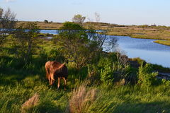 Wild Horses in Assateaque Island, Maryland Stock Images