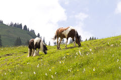 Wild horses on the Austrian Alps Royalty Free Stock Photo