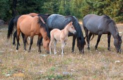 Wild Horses - Baby foal colt with mother and herd in the Pryor Mountains Wild Horse Range in Montana USA. Wild Horses - Baby foal colt dun coloring with mother Stock Photo
