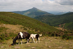 Wild horses in Basque Country, France royalty free stock photo