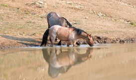 Wild Horses - Bay Red Roan and Grulla mares reflecting while drinking at the waterhole in the Pryor Mountains - Montana USA Royalty Free Stock Images