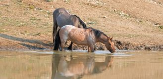 Wild Horses - Bay Red Roan and Grulla mares reflecting while drinking at the waterhole in the Pryor Mountains - Montana USA. Wild Horses - Bay Red Roan and royalty free stock photo