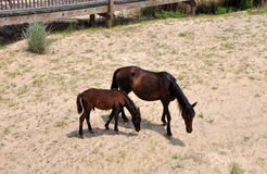 Wild horses on beach. Two wild horses grazing on beach in outer banks of North Carolina royalty free stock photography