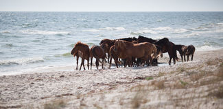 Wild horses on the beach Stock Photography
