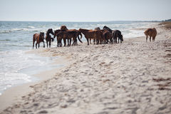 Wild horses on the beach Stock Images
