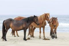 Wild horses on the beach. In Corolla, North Carolina stock photography