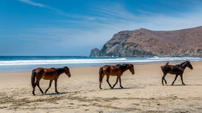 Wild horses on beach. Wild horses walk on a beautiful remote beach Stock Photos