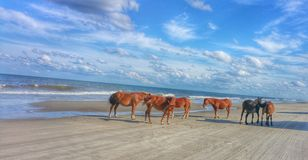 Wild horses  on the beach Royalty Free Stock Images