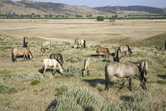 Wild horses at the Black Hills. Wild Horse Sanctuary, the home to America's largest wild horse herd, Hot Springs, South Dakota Stock Photos