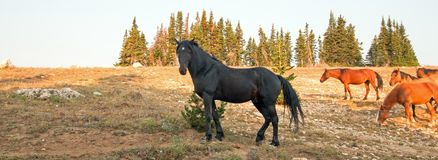 Wild Horses - Black Stallion with herd in the Pryor Mountains Wild Horse Range in Montana. United States Royalty Free Stock Photography