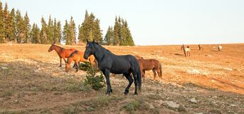 Wild Horses - Black Stallion with herd in the Pryor Mountains Wild Horse Range in Montana. United States stock images