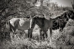 Wild horses in black and white in arizona Royalty Free Stock Image