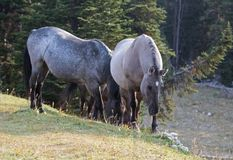 Wild Horses - Blue Roan mare and Silver Gray Grulla mare in the Pryor Mountains Wild Horse Range in Montana USA Stock Images