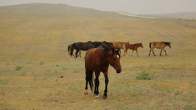 Wild Horses brown slowly walks to the camera in stock video footage