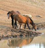 Wild Horses - Buckskin Bay mare with foal and Liver Chestnut Bay Stallion drinking at the waterhole - Montana USA Royalty Free Stock Image
