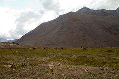 Wild horses, Cajon del Maipo, Chile Royalty Free Stock Photography