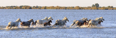 Wild horses in Camargue Royalty Free Stock Image