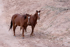 Wild horses Canyon de Chelly Royalty Free Stock Image