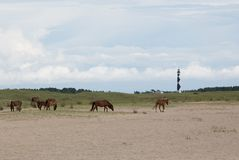 Wild Horses at Cape Lookout National Seashore. Cape Lookout National Seashore, North Carolina, United States - wild horses roam the isolated beaches of the Outer royalty free stock photography