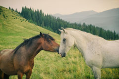Wild horses in Carpathian mountain Royalty Free Stock Image