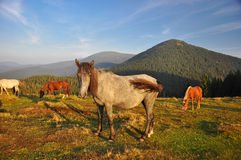 Wild Horses in Carpathian Mountains, Ukraine Stock Photos
