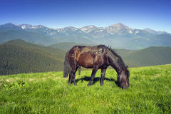 Wild horses in the Carpathians Royalty Free Stock Image