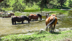 Wild horses in the Catalan Pyrenees, Spain Stock Images