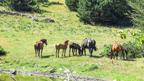 Wild horses in the Catalan Pyrenees, Spain. Wild horses in Aran valley in the Catalan Pyrenees, Spain Stock Photos