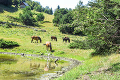 Wild horses in the Catalan Pyrenees, Spain. Wild horses in Aran valley in the Catalan Pyrenees, Spain Stock Photo