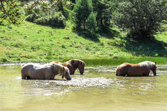 Wild horses in the Catalan Pyrenees, Spain. Wild horses in Aran valley in the Catalan Pyrenees, Spain Stock Photography