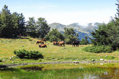 Wild horses in the Catalan Pyrenees, Spain. Wild horses in Aran valley in the Catalan Pyrenees, Spain Royalty Free Stock Image