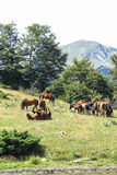 Wild horses in the Catalan Pyrenees, Spain. Wild horses in Aran valley in the Catalan Pyrenees, Spain Stock Image