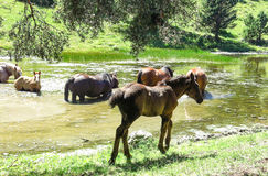 Wild horses in the Catalan Pyrenees, Spain. Wild horses in Aran valley in the Catalan Pyrenees, Spain Royalty Free Stock Photos