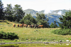 Wild horses in the Catalan Pyrenees, Spain. Wild horses in Aran valley in the Catalan Pyrenees, Spain Stock Images
