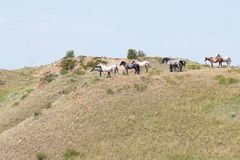Wild horses catching a breeze. A herd of wild horses mingle and jostle on a hilltop as their manes catch the breeze in the summer heat Royalty Free Stock Images