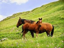 Wild horses. In Caucasus mountains royalty free stock photography