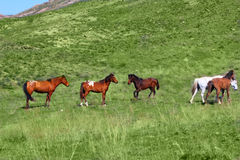 Wild horses in Central Asia Royalty Free Stock Images