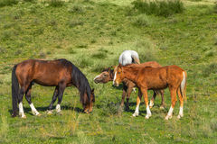 Wild horses in Central Asia. Red wild horses in Central Asia Royalty Free Stock Image