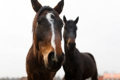 Wild horses close-up Royalty Free Stock Images