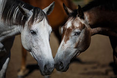 Wild horses close-up Royalty Free Stock Photography