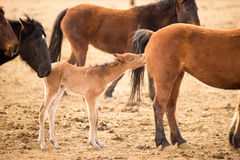 Wild Horses Collected Oregon State Horse Pony Foal Yearling Royalty Free Stock Photos