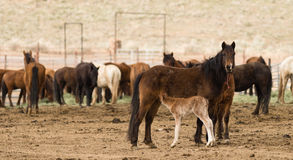 Wild Horses Collected Oregon State Horse Pony Offspring. Young pony looks to Mom for some nutrition on site in Oregon near Burns Royalty Free Stock Photos