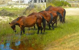 Wild Horses of Corolla North Carolina in a Group Grazing royalty free stock image