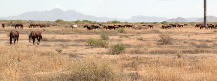 Wild Horses in the Country. Panorama of a  herd of wild horses grazing in the country desert of Arizona Royalty Free Stock Image